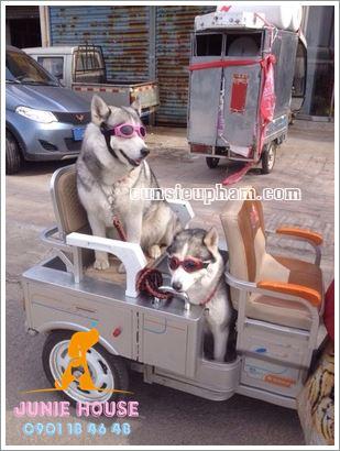 Kính mát cho chó mèo - quần áo khủng long cho chó mèo - quần áo tết cho chó mèo - trang phục siêu nhân Junie House - Trang phục hiệp sĩ cao bồi cho chó - Đồ Minions - Đồ cướp biển cho chó