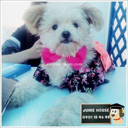 Kimono cho chó mèo - Balo ong vàng cho chó mèo - Áo superman cho chó lớn - Balo cho chó mèo - quần áo khủng long cho chó mèo - quần áo tết cho chó mèo - trang phục siêu nhân Junie House - Trang phục hiệp sĩ cao bồi cho chó - Đồ Minions - Đồ cướp biển cho chó - 0901 18 46 48