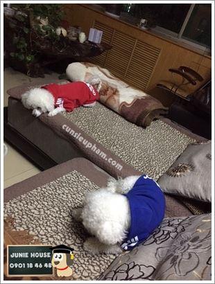 Áo Adidog cho chó mèo - kimono cho chó mèo - Balo ong vàng cho chó mèo - Áo superman cho chó lớn - Balo cho chó mèo - quần áo khủng long cho chó mèo - quần áo tết cho chó mèo - trang phục siêu nhân Junie House - Trang phục hiệp sĩ cao bồi cho chó - Đồ Minions - Đồ cướp biển cho chó - 0901 18 46 48